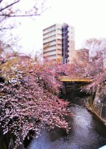 1704桜 (2)